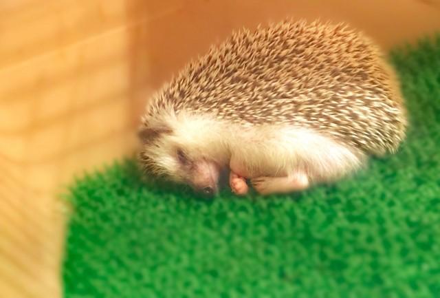 ハリネズミ眠る